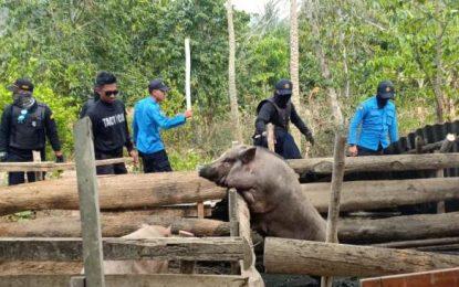 Patroli Gabungan Tertibkan Kandang Babi di KKOP Hang Nadim