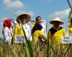Ketua DPRD Kabupaten Bengkalis Ikuti Acara Panen Raya Padi di Desa Harapan Baru