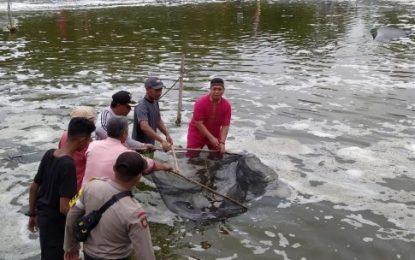 Panen Perdana Udang Vanamei di Desa Panggak Laut, Nizar Titip Harapan
