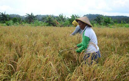 Kelompok Tani di Desa Bukit Langkap Alami Peningkatan Hasil Panen Padi