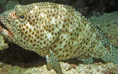 Pandemi COVID-19 Bikin Harga Ikan Kerapu Turun Drastis